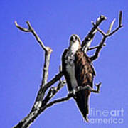 Florida Osprey Art Print