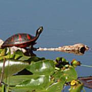 Florida Redbelly Turtle Art Print