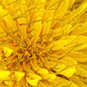 Flower - Dandelion Art Print