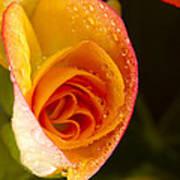 Flower Rieger Begonia 5 Art Print