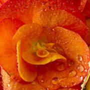 Flower Rieger Begonia 6 Art Print