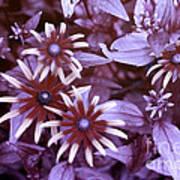 Flower Rudbeckia Fulgida In Uv Light Art Print