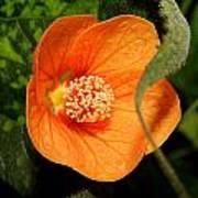 Flowering Maple Single Flower 2 Art Print