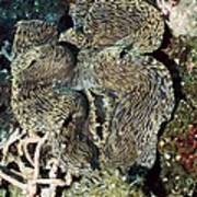 Fluted Giant Clam Art Print by Georgette Douwma