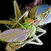 Fly Eating Another Fly, Sem Art Print by Volker Steger