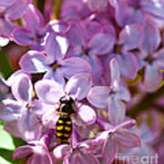 Fly In The Lilacs Art Print