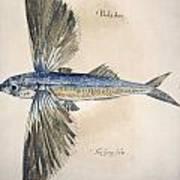 Flying-fish, 1585 Art Print