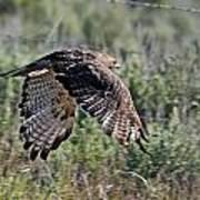 Flying Redtail Hawk  Art Print