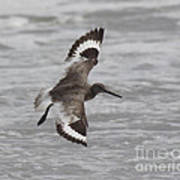 Flying Willet Art Print by Chris Hill
