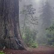 Fog And Redwoods Art Print