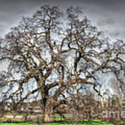 Folsom Oak Tree Art Print