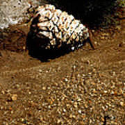 Fools Gold And Pine Cone Art Print