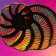 Foraminifer Art Print by Eric V. Grave
