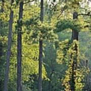 Forest Illumination At Sunset Art Print