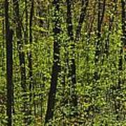 Forest In Spring Foliage, Six Mile Lake Art Print