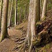 Forest Pathway, Whistler, British Art Print