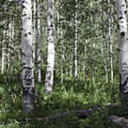 Forever Aspen Trees Art Print