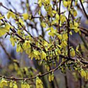 Forsythia 'minigold' Flowers Art Print