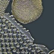 Fossil Diatoms, Light Micrograph Art Print by Frank Fox