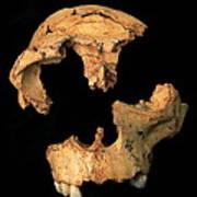Fossilised Skull, Gran Dolina Art Print