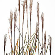 Fountain Grass In White Art Print by Steve Gadomski