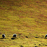 Four Sheep Art Print