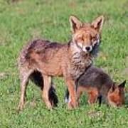 Fox And Baby Art Print