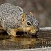 Fox Squirrel Art Print