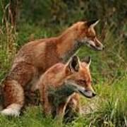 Foxy Pair Art Print by Jacqui Collett