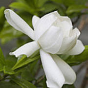 Fragrant White Gardenia Blossom Art Print