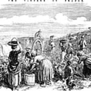France: Grape Harvest, 1854 Art Print