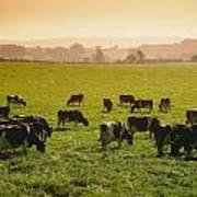 Friesian Cattle Cattle Grazing Art Print