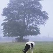 Friesian Cow, Ireland Art Print