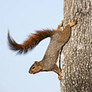 Frisky Little Squirrel With A Twirly Tail Art Print by Bonnie Barry