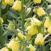Fritillaria Pallidiflora Art Print