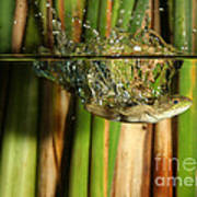 Frog Jumps Into Water Print by Ted Kinsman