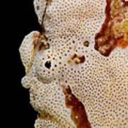 Frogfish Face Art Print