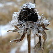 Frost And Snow On Dead Daisy Art Print