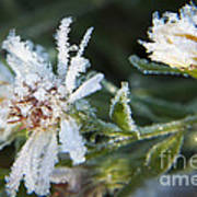 Frostbite Flower Print by Darleen Stry