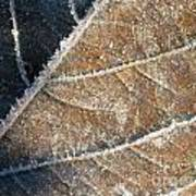 Frosted Leaf Art Print