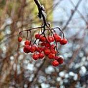 Frozen Mountain Ash Berries Art Print