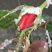 Frozen Rosebud Art Print
