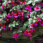 Fuchsia 'swanley Gem' Art Print