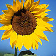 Full Sunflower Art Print