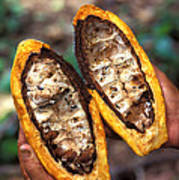 Fungal Infection Of Cacao Print by Science Source