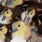 Fuzzy Ducklings Art Print
