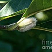 Fuzzy Magnolia Art Print