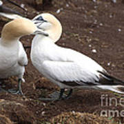 Gannets Showing Mutual Preening Behavior Art Print