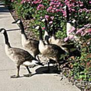 Garden Geese Parade Art Print