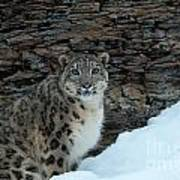 Gaze Of The Snow Leopard Art Print